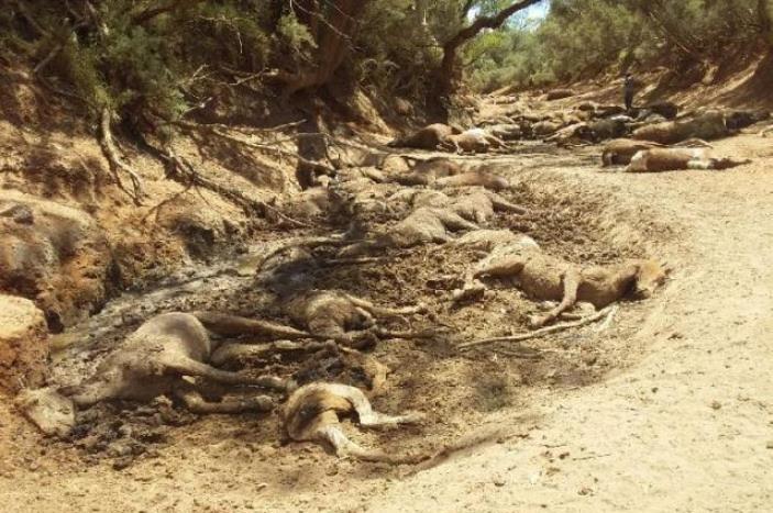 Brumby bodies decomposing in a creek bed near Santa Teresa.