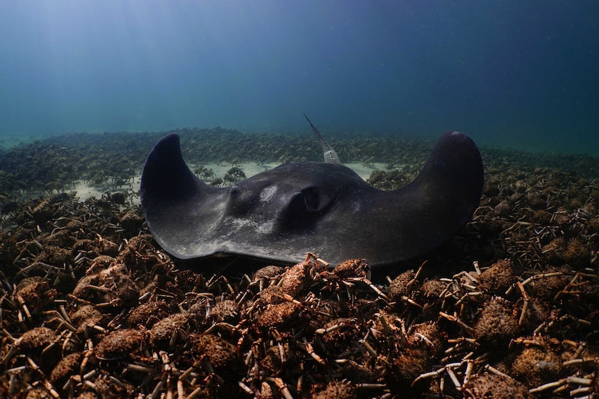 A stingray swimming over a group of giant spider crabs.