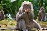 Macaques eat bananas during feeding time