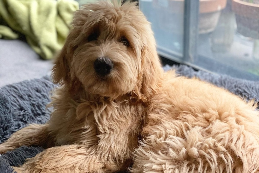 A fluffy brown dog sits looking at the camera.