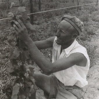 Soldier settler tying young vine to a trellis