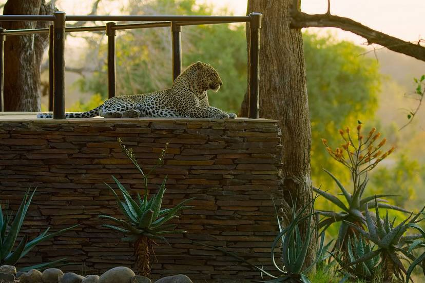 A film still of a leopard in a luxury resort in Mpumalanga from The Year Earth Changed