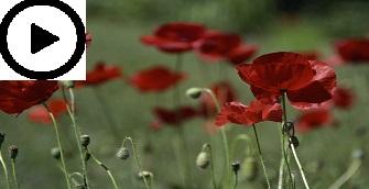 A red opium poppy in a field.