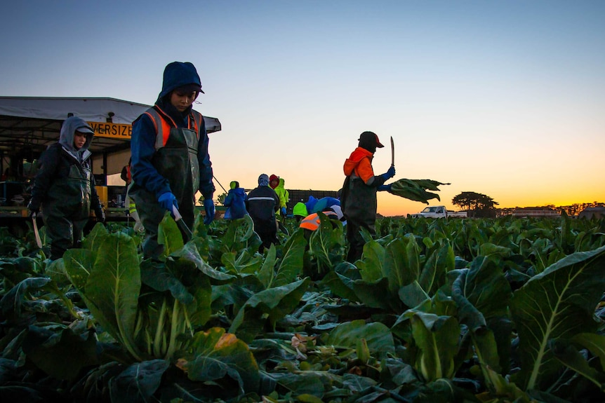 Workers harvesting cauliflower in the early morning on a farm at Werribee.