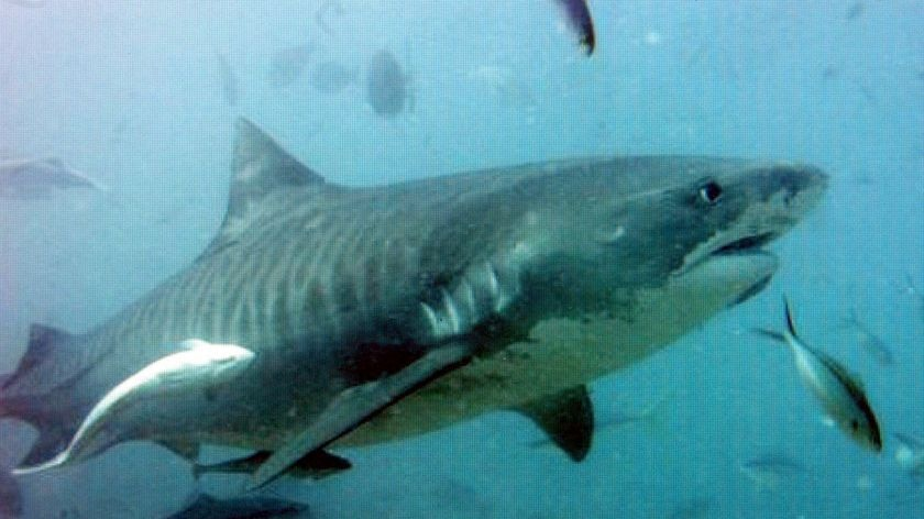 A tiger shark swims surrounded by fish