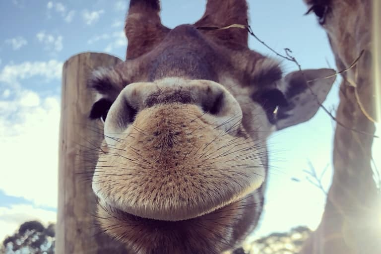 A close-up photo of a young giraffe that looks like it is smiling.