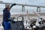 A man throws fish in the air to pelicans by the water.