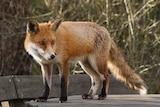 A wild fox