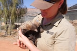zookeeper from Alice Springs Desert Park dressed in uniform holding Ina