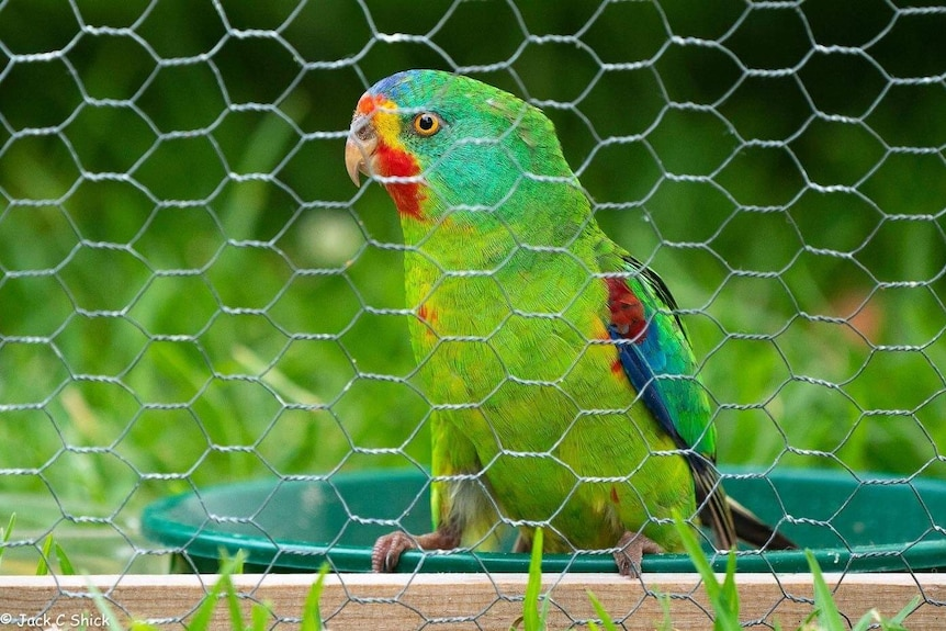 A bright green parrot with red markings looks out from a wire cage.