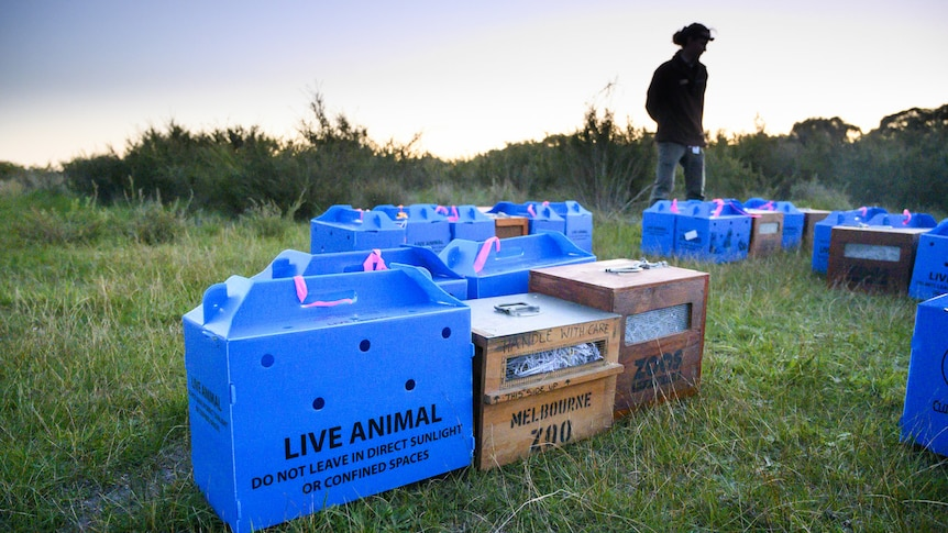 A number of blue and wood boxes sit in a paddock on french island with bandicoots inside. A woman stands in the background.