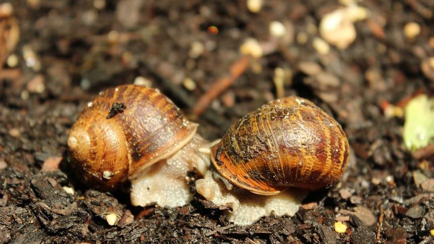 Snails having sex