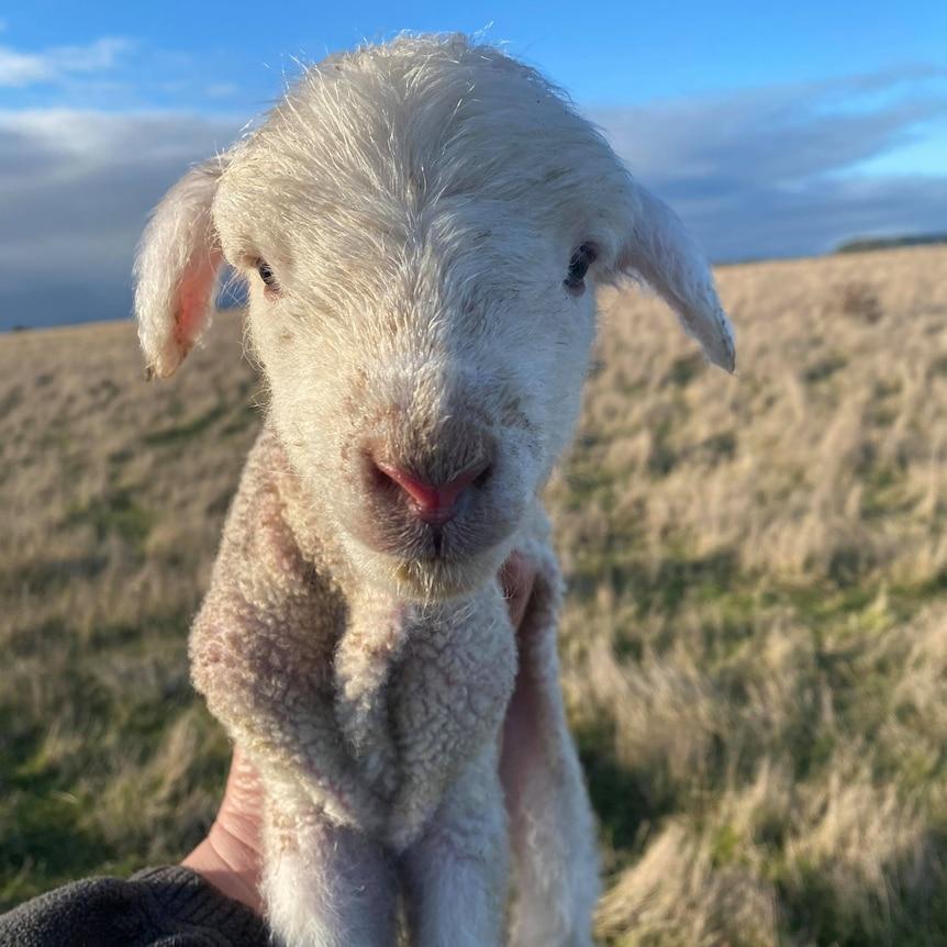 a newborn lamb being held aloft in a woman's hand
