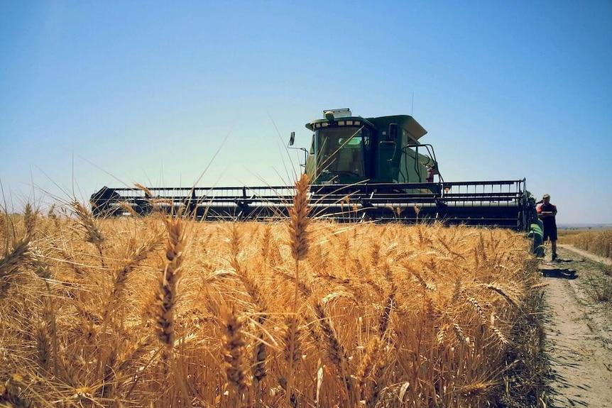 a harvester approaching through a field of grain