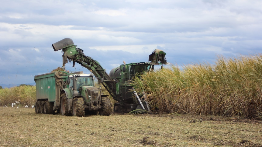 Big truck with attached cane crusher slashing rows of cane in a field.