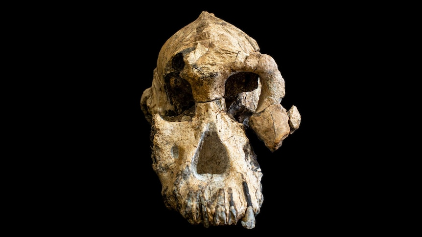 Fossil skull of Australopithecus anamensis