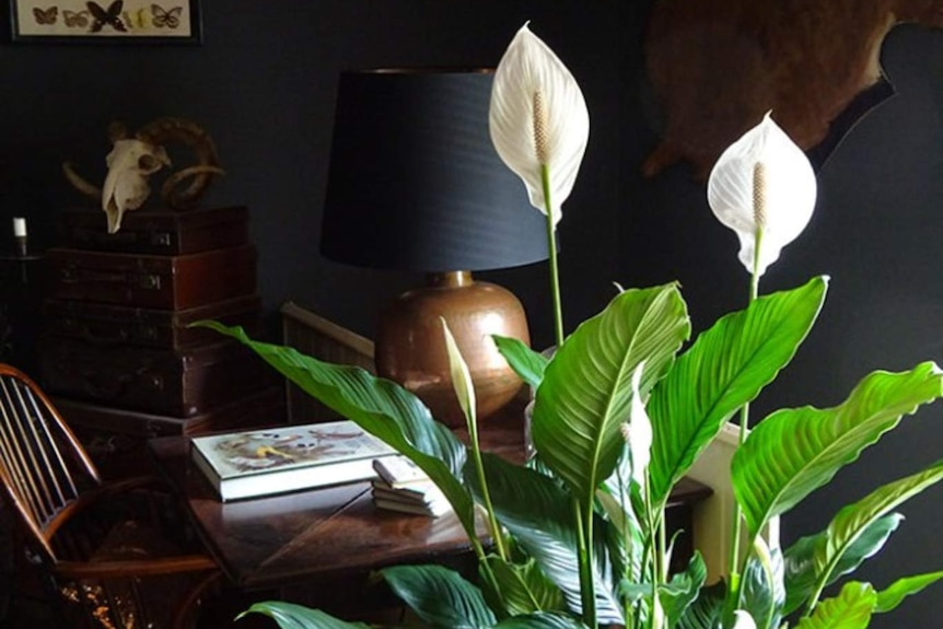 A potted Peace Lily sits in front of a desk in someone's home.