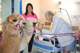 Ed Sheeran and Pancake, the alpacas in a hospital room with a patient patting Pancake on the chin.