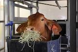 A cow eats seaweed, looking at the camera.
