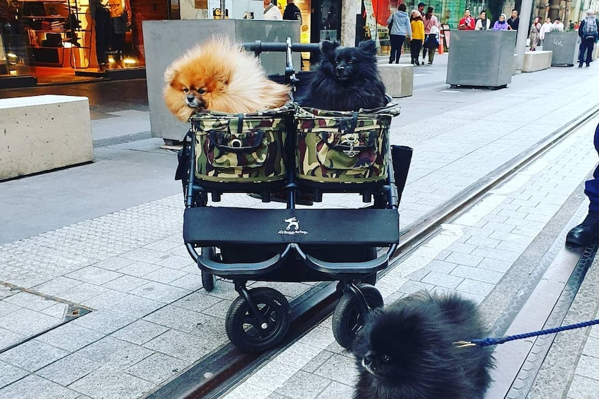 Two pomeranians, one gold, one black, sit in a pram in the Sydney's CBD.