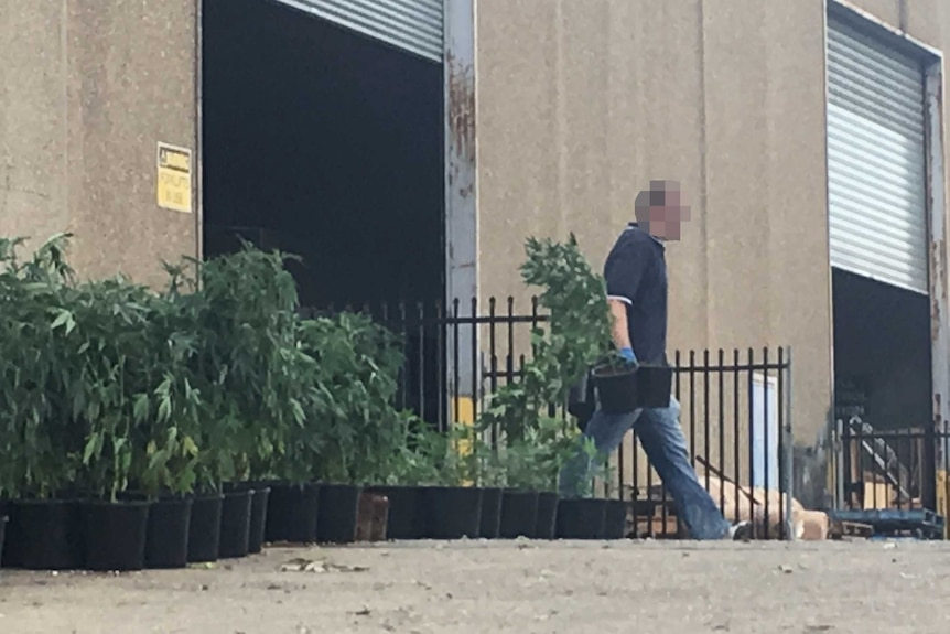 An undercover police officer removes cannabis plants from a warehouse in western Sydney.