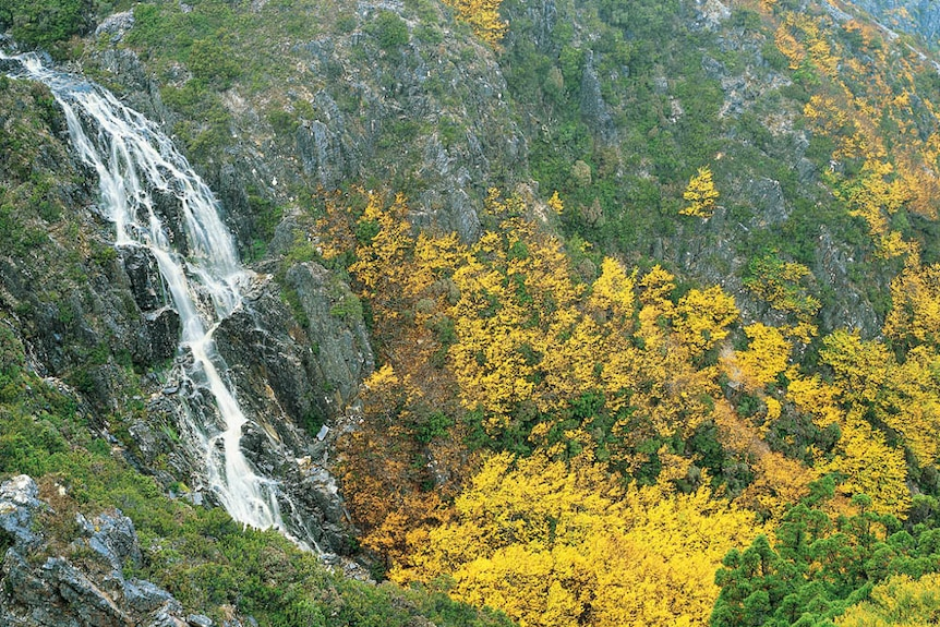 Deciduous beech and waterfall near Cradle Mountain