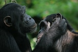 Bonobos use gestures to change positions during grooming