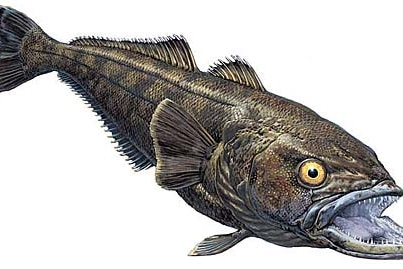 An illustration of the prized patagonian toothfish