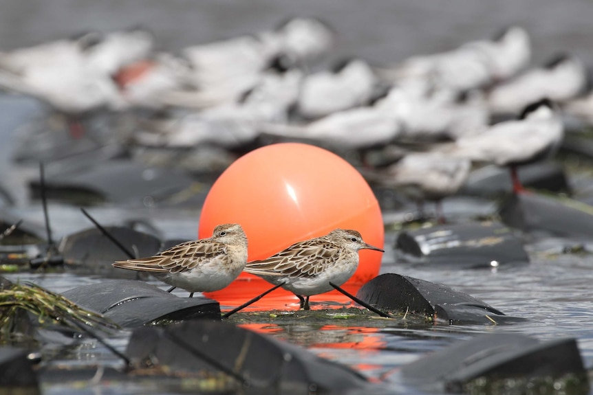 Two birds standing on floating black plastic roost