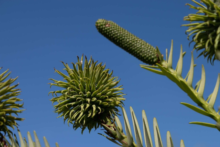 Photograph of a male and female cone from a Wollemi pine. One is elongated and the other has many tendrils