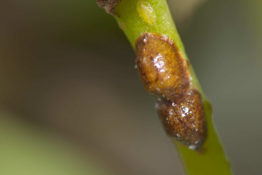 A macro image of scale on the stem of an indoor plant, the pest can be harder to spot with its brown exterior.