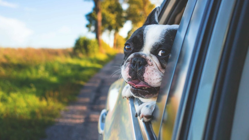 A puppy is seen with its head out the window of a car.