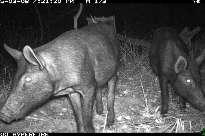 Wild pigs caught on camera in the Barmah National Park.