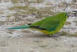 Oldest red-bellied parrot returns for breeding