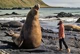 Elephant seal on Macquarie Island