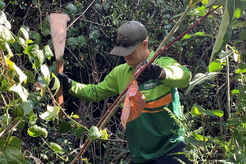 Specialist environmental crews culling weeds in Lamington National Park