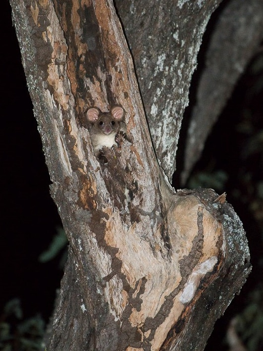 A small marsupial almost camouflaged in a tree.