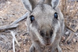 A grey, brown and white wallaby looks upwards toward the camera