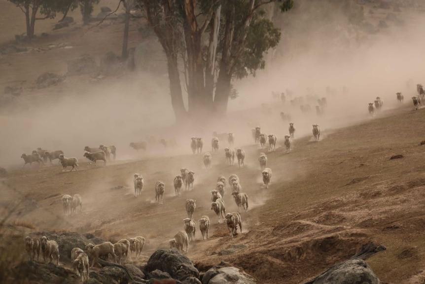 Sheep run through the dust