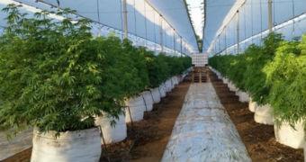 A marijuana crop in Chile