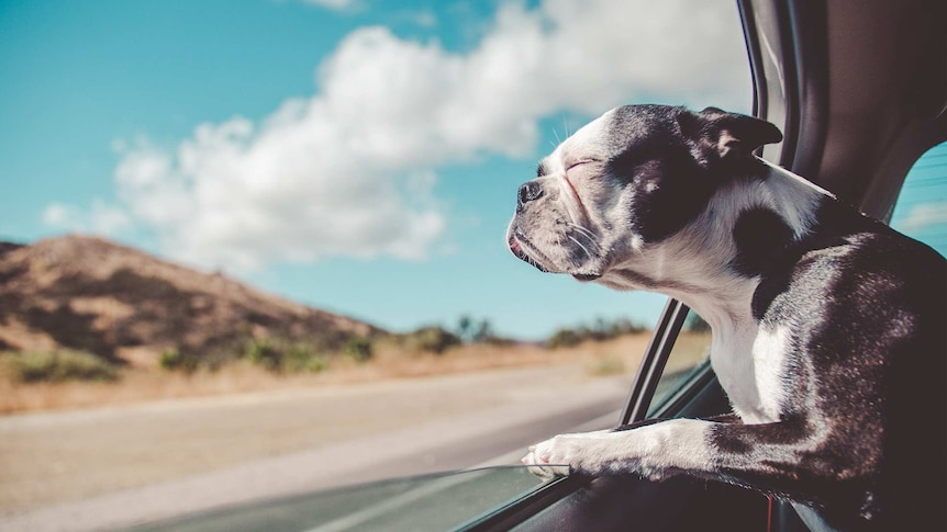 Dog with eyes closed and head out the window of a car