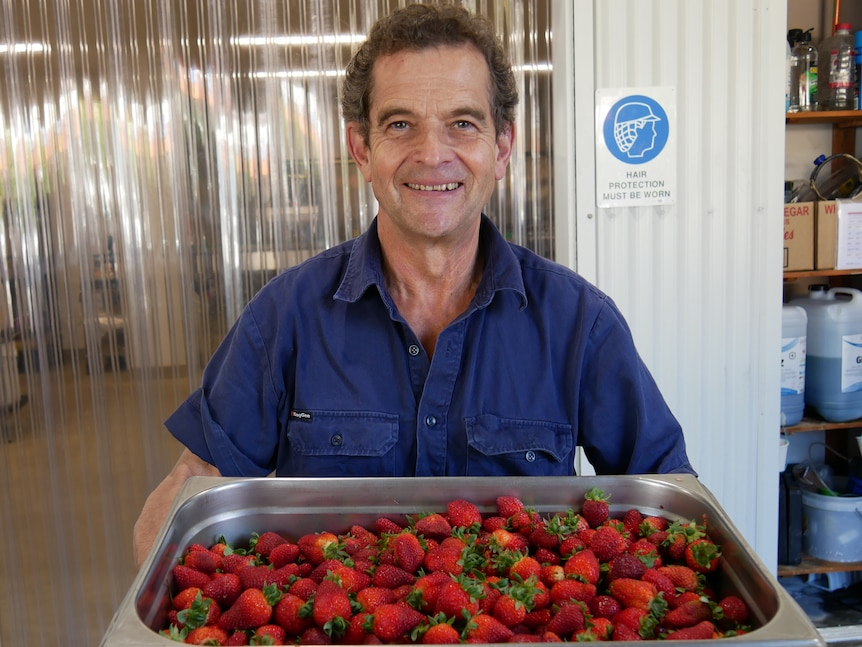 A slim older man in a work shirt smiles and holds a silver bucket of red strawberries.