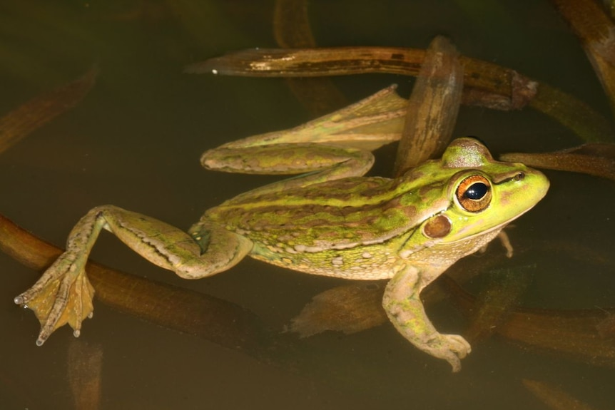 A close-up image of a green spotted frog.