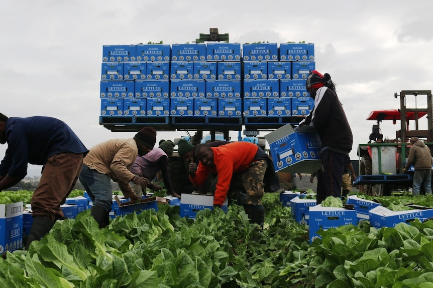 Ni-Vanuatu horticultural workers at Lindenow, in Gippsland, packing boxes of cos lettuces.