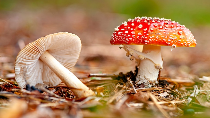 A close up of a red-capped mushroom with white dots.