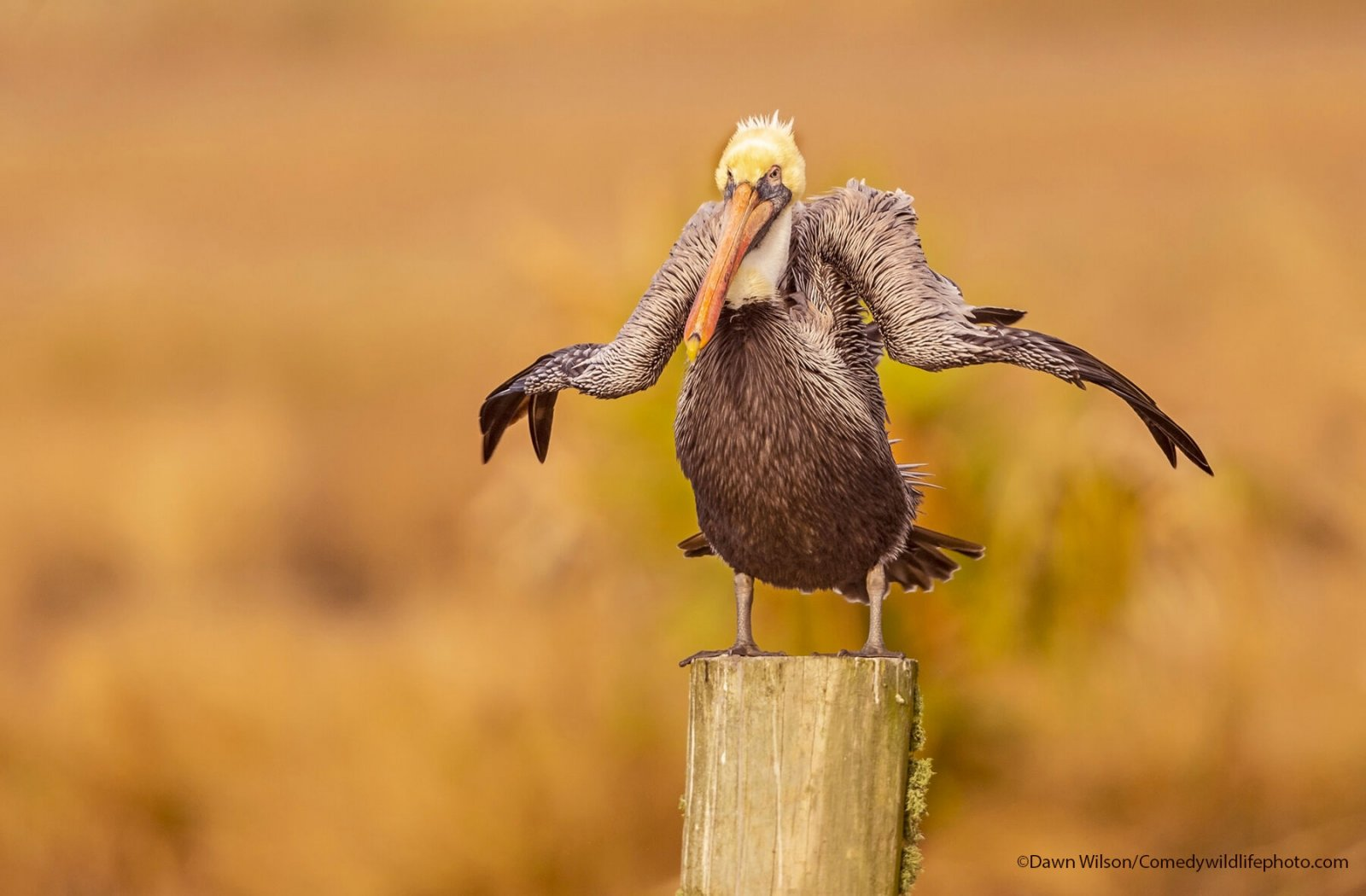 A pelican looks like it is shrugging while standing on a post.