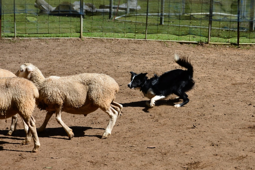 A border collie chasing sheep.