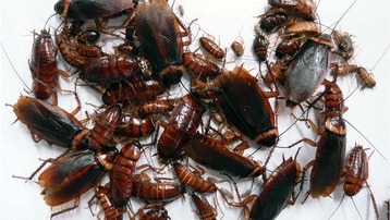 A collection of cockroaches, big and small, who have been breeding by parthenogenesis.