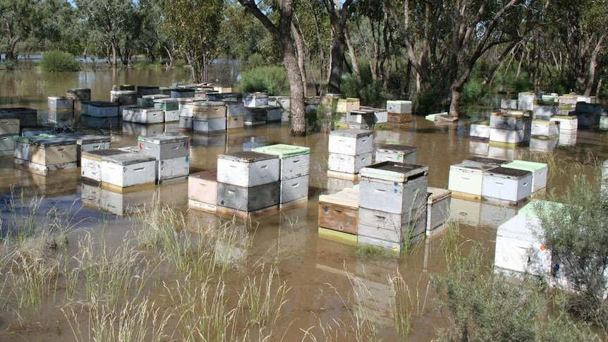 Around 50 white box beehives sit halfway deep in brown floodwater amongst trees