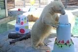 Birthday polar bear takes the cake on Queensland's Gold Coast